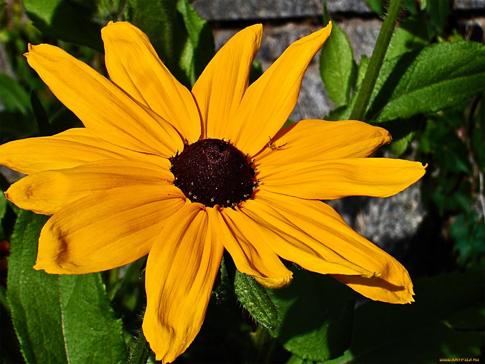Фото цветка рудбекия мирабилис зависимости